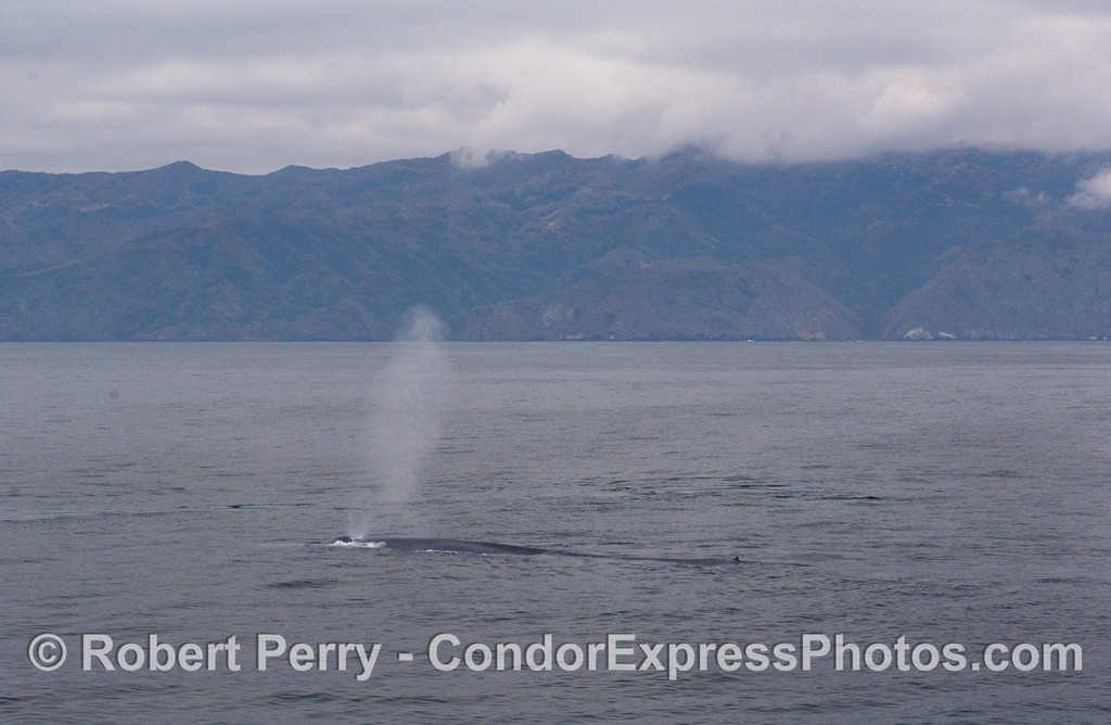 If you look close enough you can see how enormous the first half of the Blue Whale body is...as it spouts on the surface on one end and the dorsal fin is visible on the other.  Santa Cruz Island is in back.