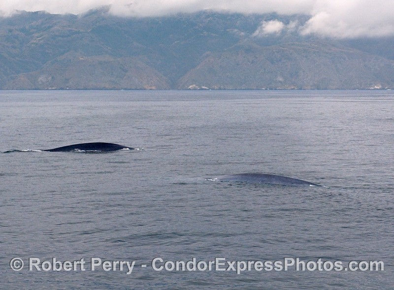 Two Blue Whales and Santa Cruz Island.  One whale was distincly darker than the other.
