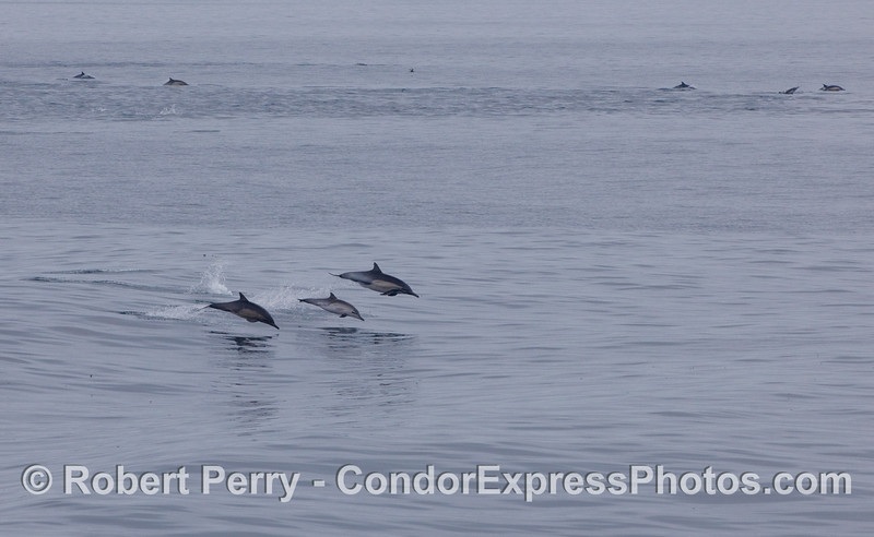 Three leaping Common Dolphins in the front, and many others in the back.