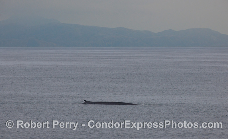 A Fin Whale with Santa Rosa Island in back.