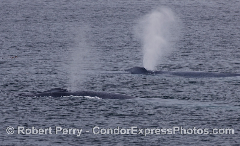 Two spouting Humpback Whales.