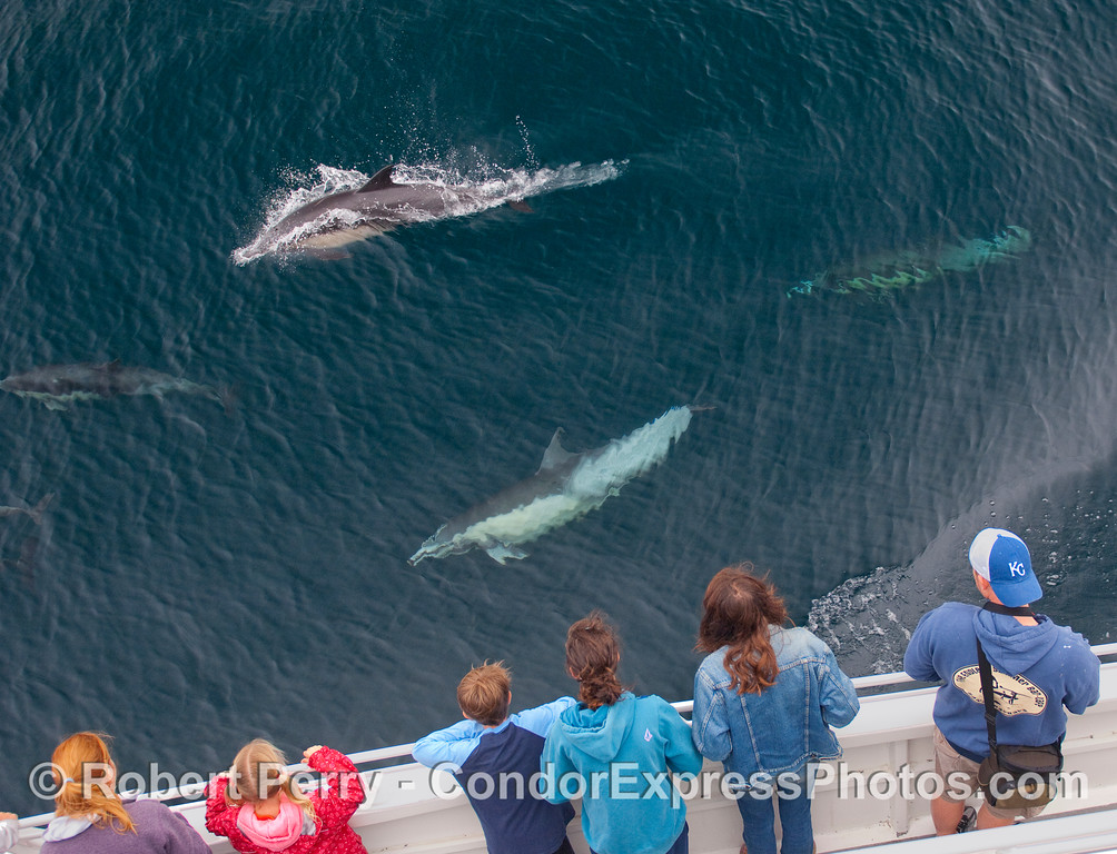 Common Dolphins come by to visit the whalers on board the Condor Express.