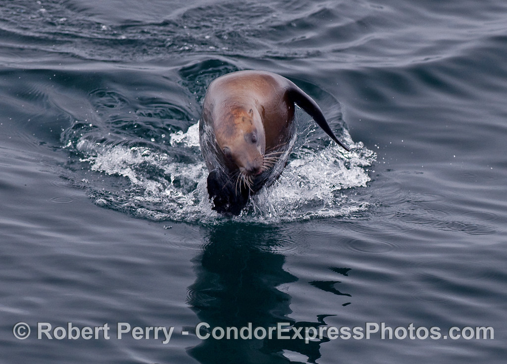 A crazy, leaping California Sea Lion.