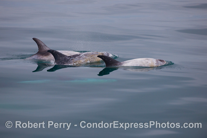 Three Risso's Dolphins on the surface, and a fourth one still glowing blue underwater.