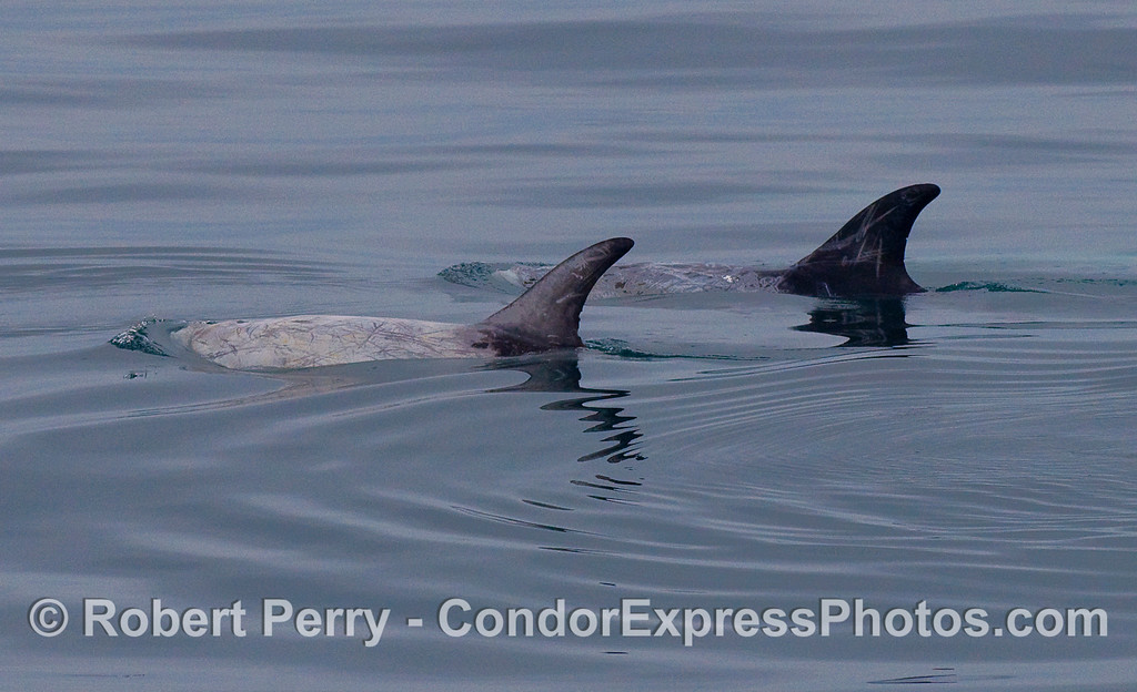 Two Risso's Dolphins.