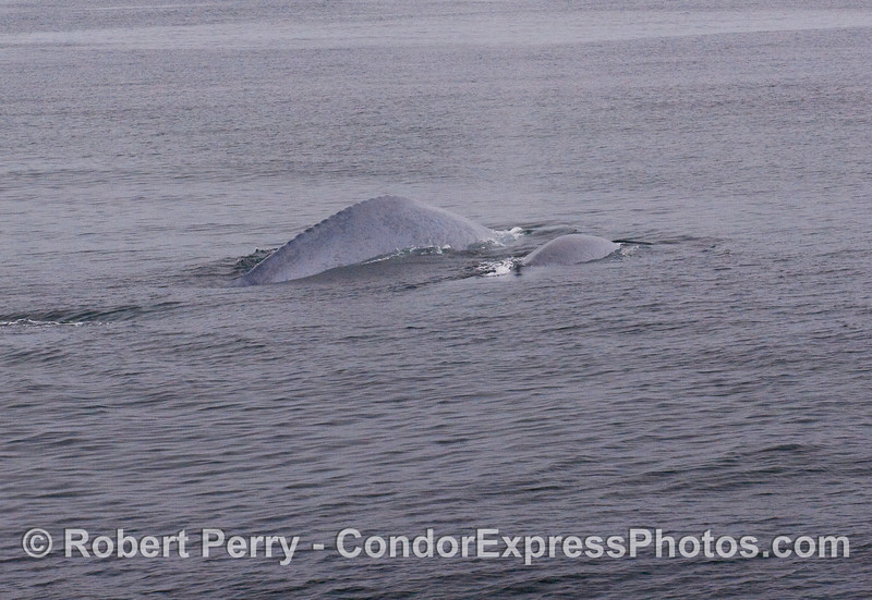 A mother and calf Blue Whale.