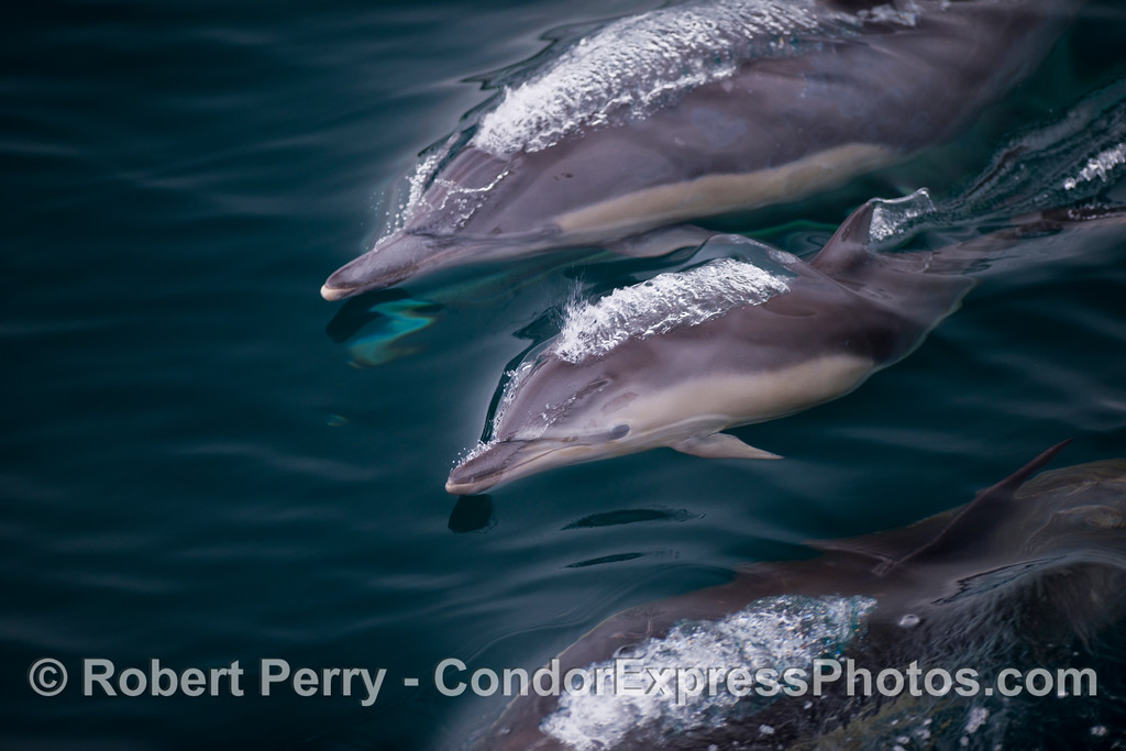 Surfing and bubbling - Common Dolphins.