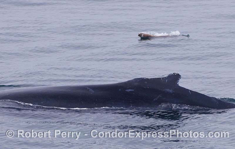 A Humpback Whale in the foreground and a highly animated California Sea Lion in the back.