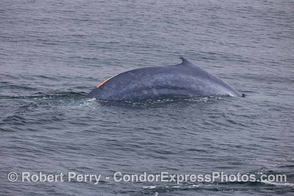 A Blue Whale arches its back to make a deep dive...again, the wound on its back is visible.