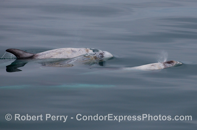 Three Risso's Dolphins up, another still down.