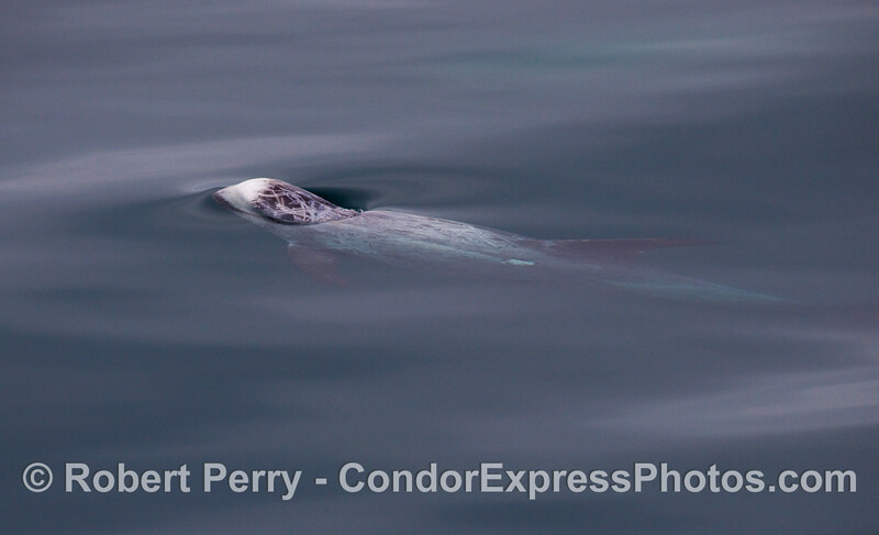 A Risso's Dolphin pokes its head up through the mirror glass surface.