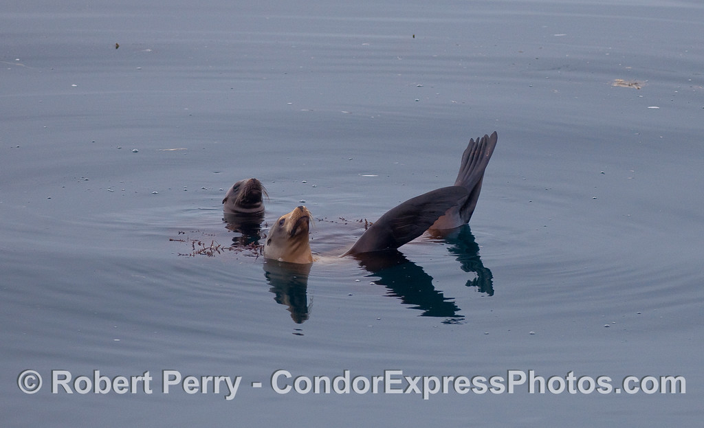 Two California Sea Lions resting near a piece of kelp (Cystoseira osmundacea).
