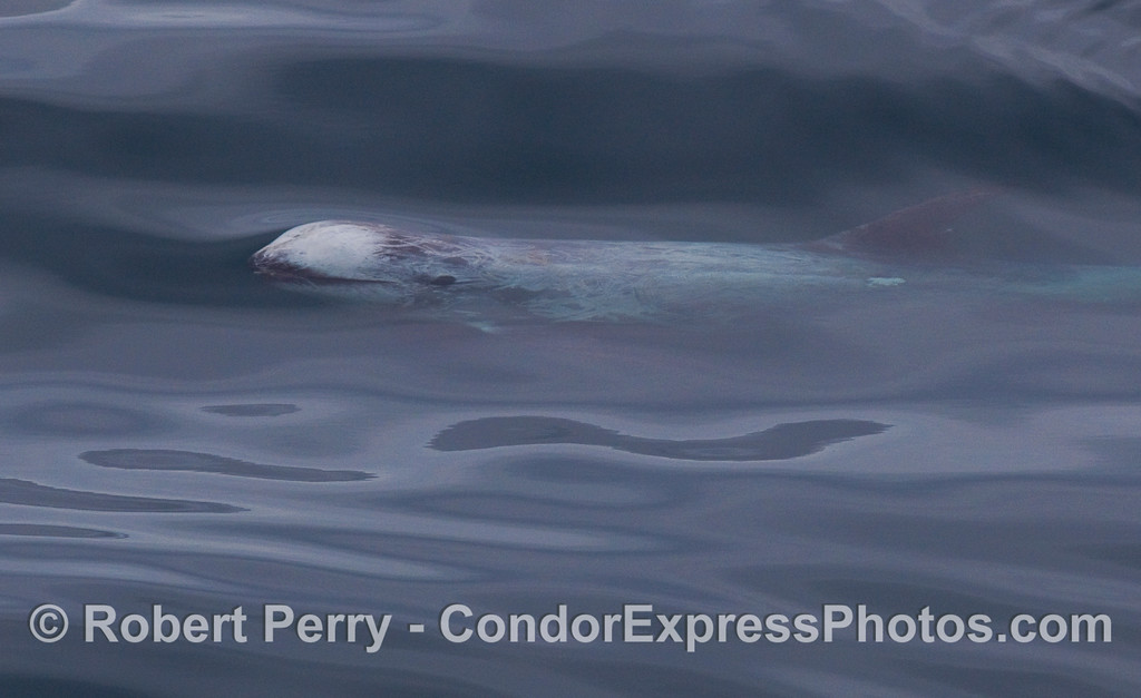 A friendly Risso's Dolphin swims by under the clear blue water.