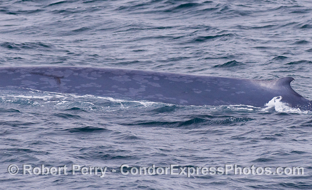 Here we see the left flanks and dorsal fin of a mighty Blue Whale.  The darker marks to the left appear to be propeller scars.