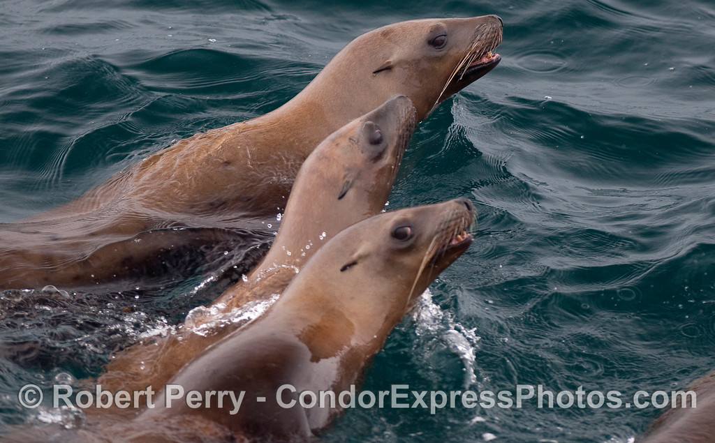Three brown headed California Sea Lions show off their long vibrissae (whiskers).
