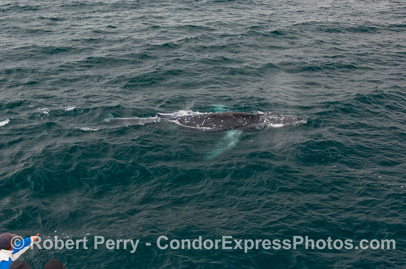 """A whaler on board the Condor Express shouts """"Thar she blows!"""" as a mighty Humpback Whale comes alongside."""