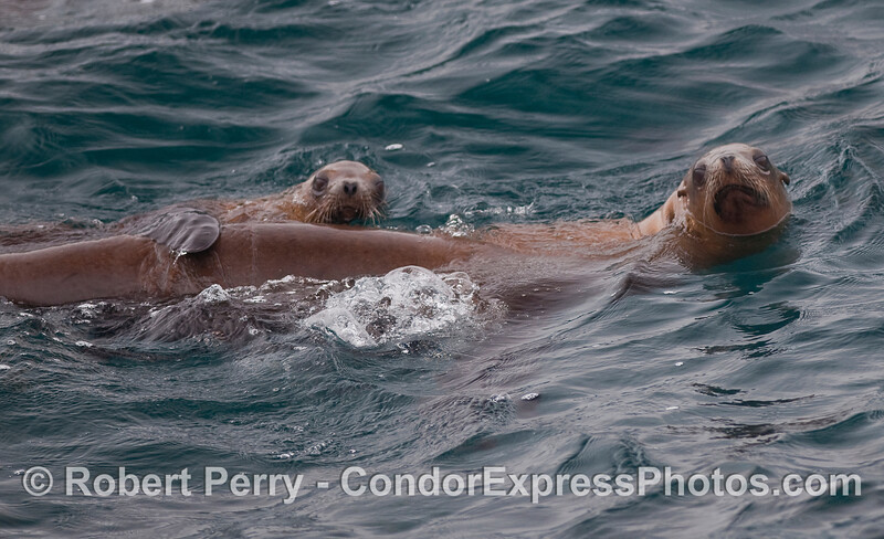 Best buddies.  Two young California Sea Lions stick together.