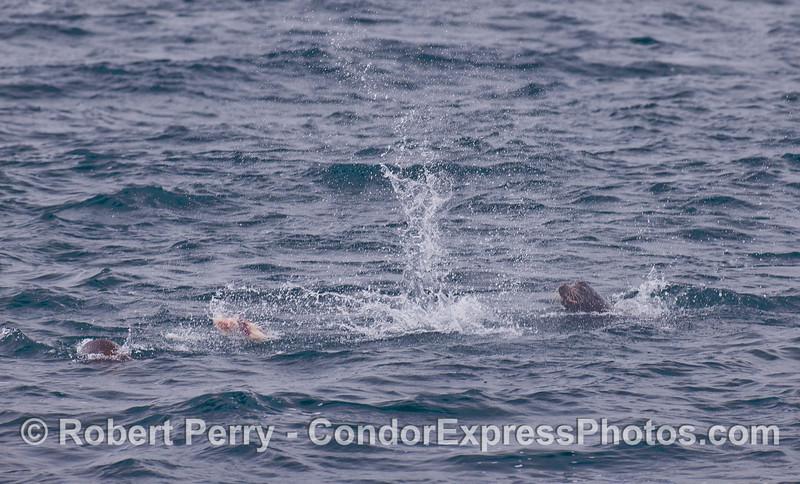 A California Sea Lion throws a chunk of fish as it feeds.