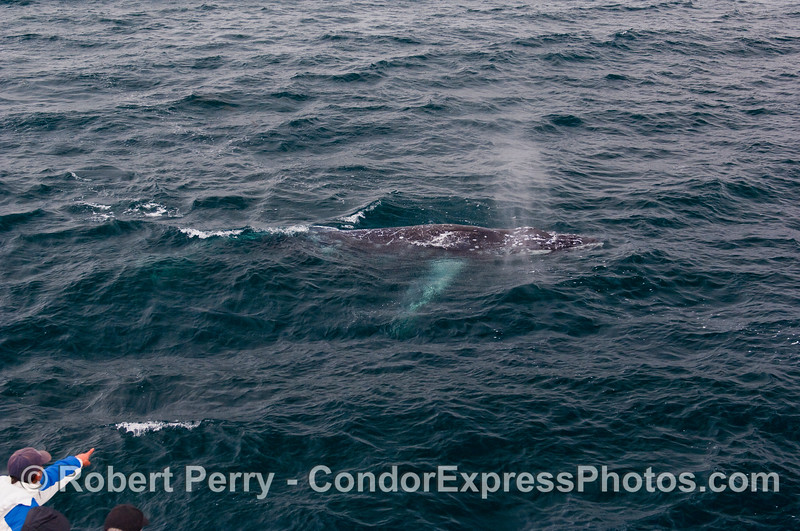 """The complete outline of this severely scarred Humpback Whale is pointed to by a whaler on the Condor Express.  I nicknamed this whale """"snowflake"""" due to all the white scars. The crew hypothesized that this may be a young or small male that took some hits from larger, older males as it competed for females on the breeding grounds."""