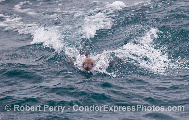 In this simulated body surfing maneuver, a California Sea Lion sends out a wake behind it.