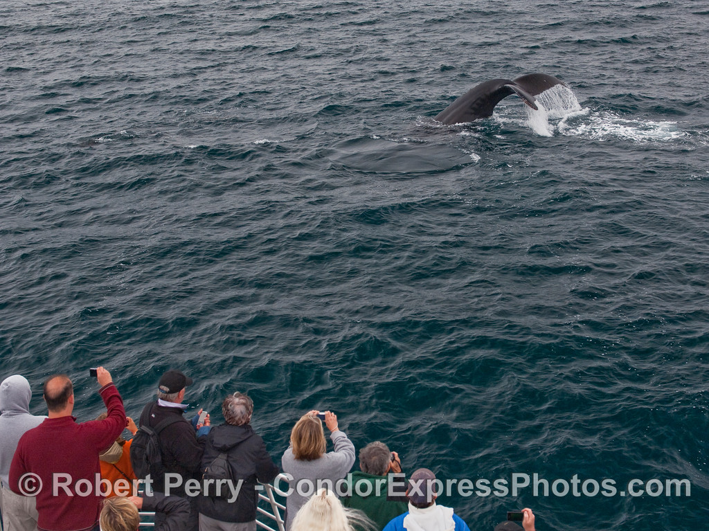 Whalers on the bow of the Condor Express witness a very close tail fluke waterfall from a friendly Humpback Whale heading for deeper waters.