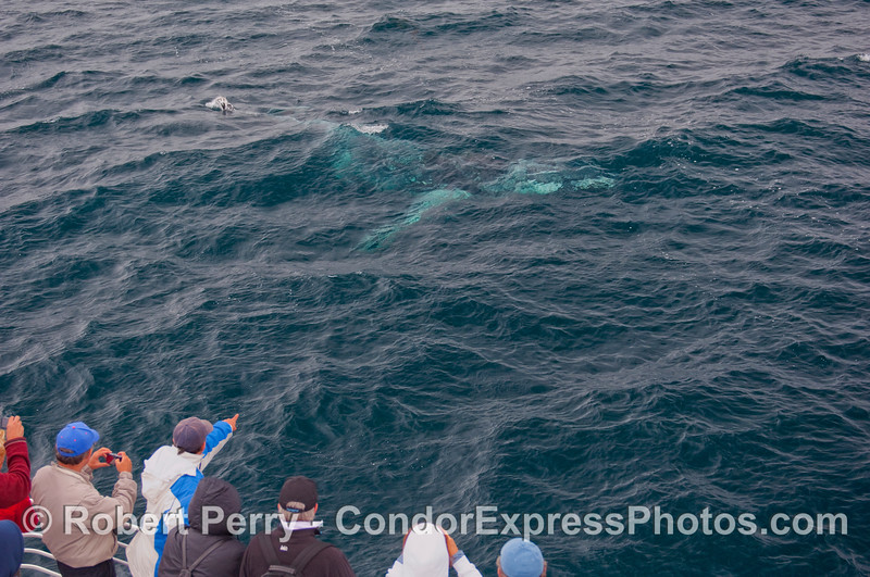 A Humpback Whale passes close to the Condor Express underwater.