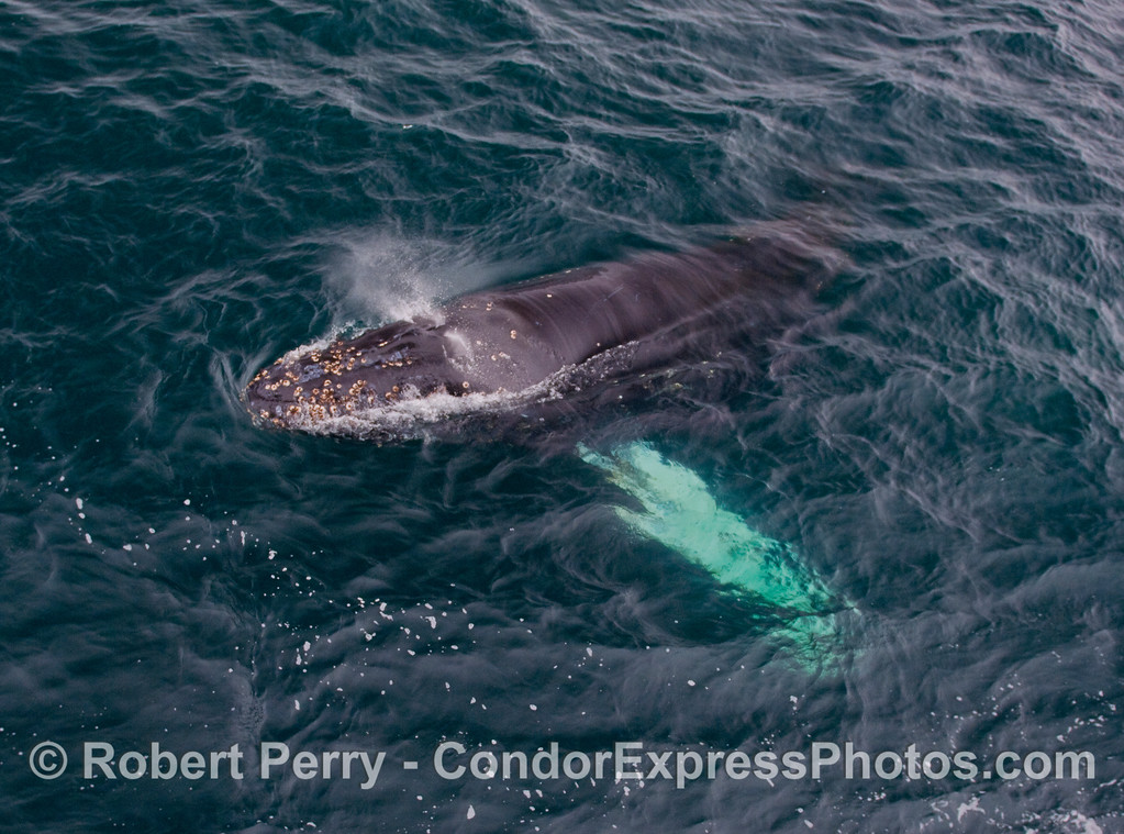 The white topped pectoral fins can be seen glowing brightly under water as this big Humpback Whale comes up and spouts alongside the Condor Express.
