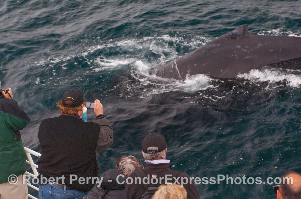A Humpback Whale dives right next to the Condor Express.