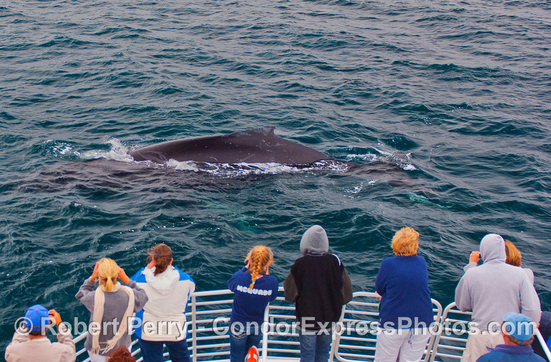 Whalers on the bow of the Condor Express get a great close up look at a friendly Humpback Whale.