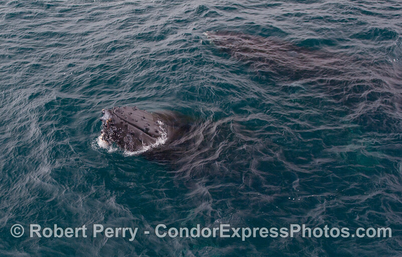 A pair of extremely friendly Humpback Whales begin their encounter with the whalers on board the Condor Express.