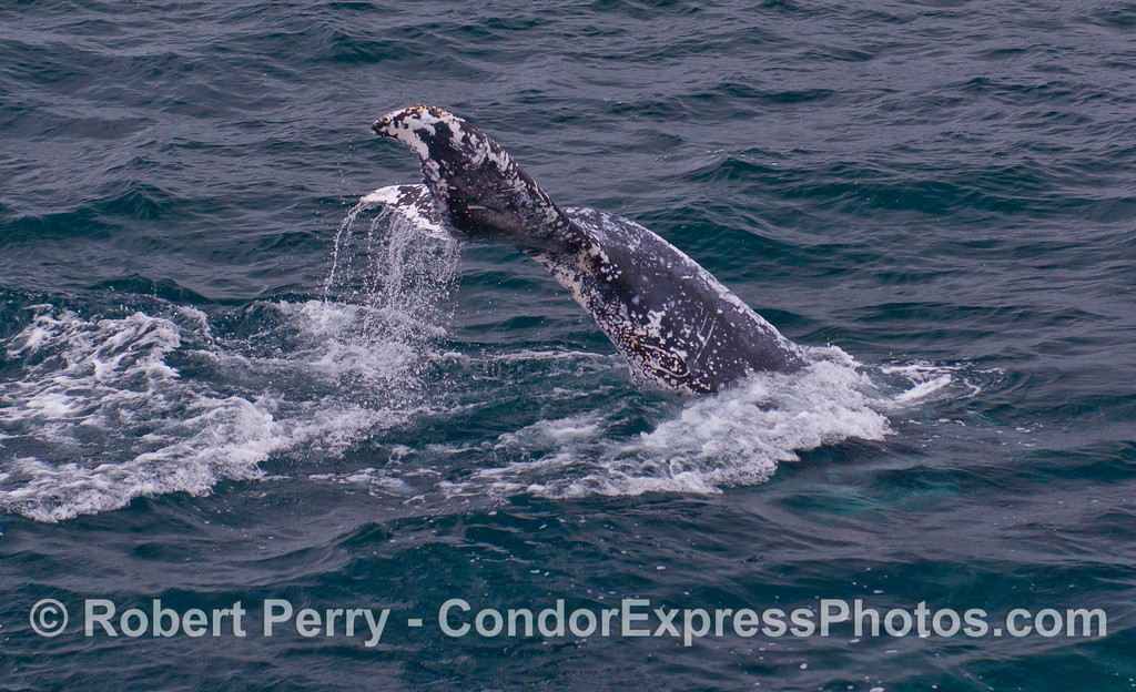 "The scarred-up Humpback Whale ""snowflake"" kicks up its tail flukes."
