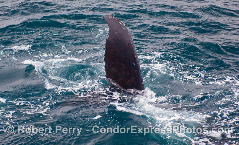 The left fluke of a Humpback Whale's tail.