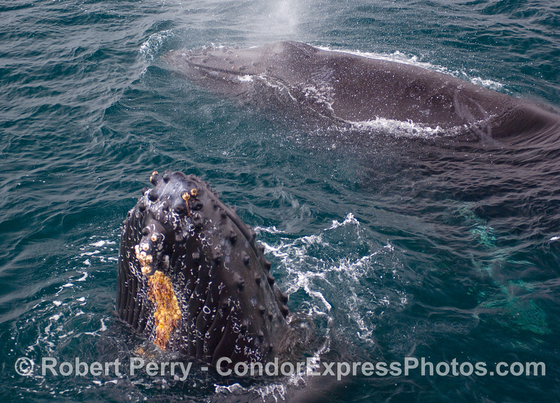 It would be hard to squeeze any more very friendly Humpback Whale flesh into this image.  What a day!