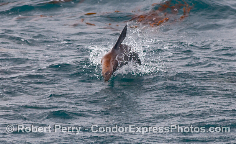 A leaping California Sea Lion.