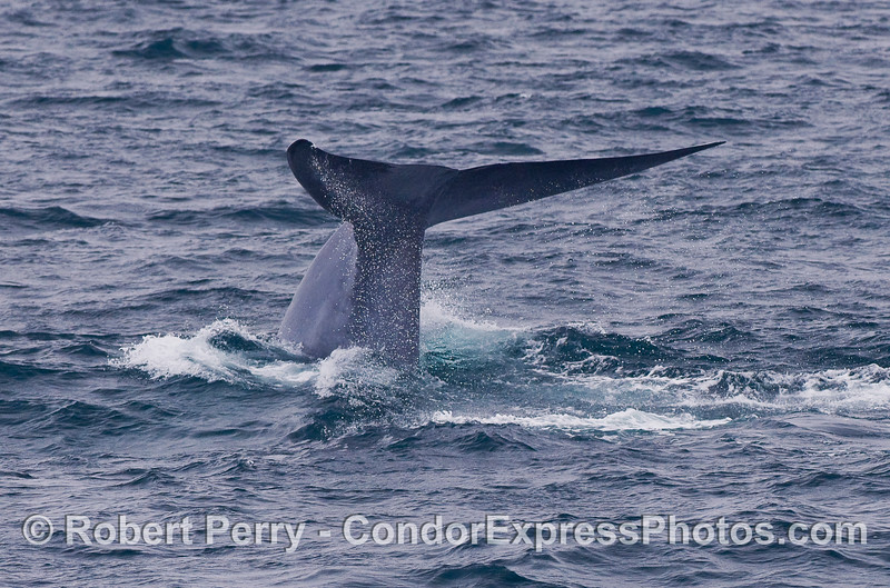 Image 3 of 4:  Blue Whale tail fluke sequence.