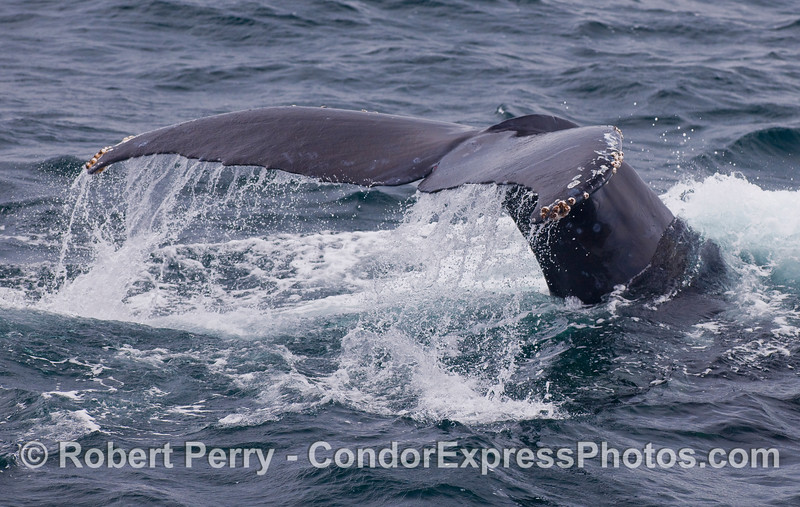 Image 3 of 3:  Humpback Whale tail fluke sequence.