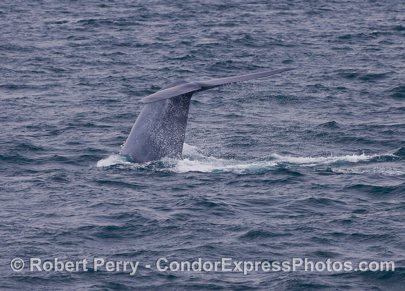Image 2 of 4:  Blue Whale tail fluke sequence.