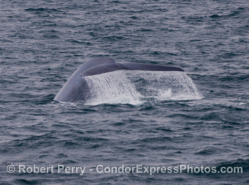 Image 1 of 4:  Blue Whale tail fluke sequence.