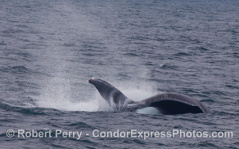 Image 2 of 2:  Humpback Whale tail-throw sequence.