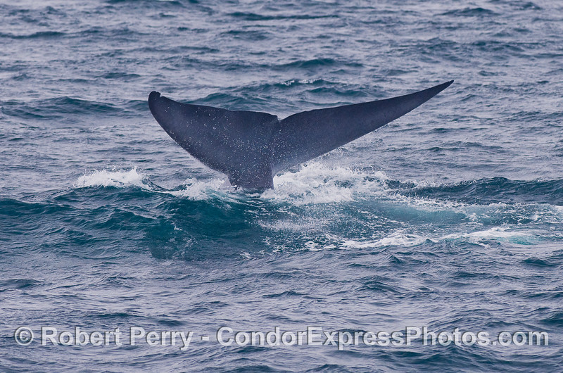 Image 4 of 4:  Blue Whale tail fluke sequence.