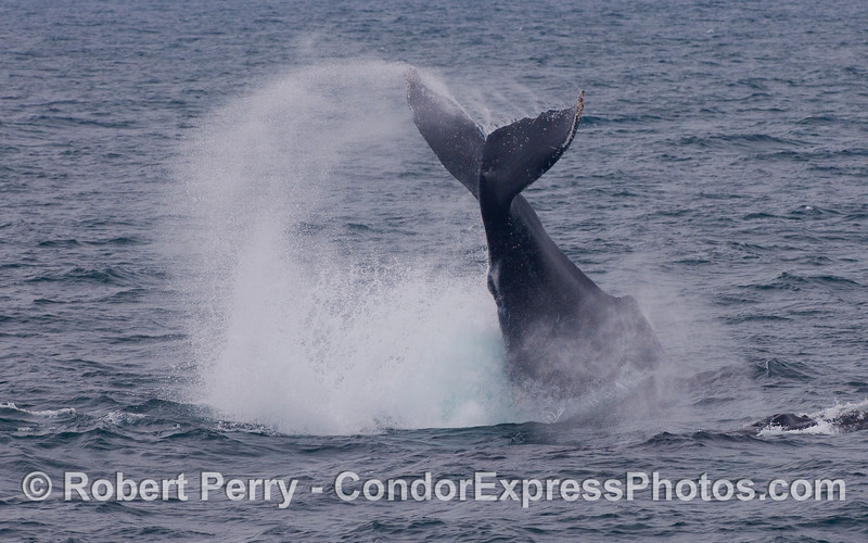 A Humpback Whale throws its tail.