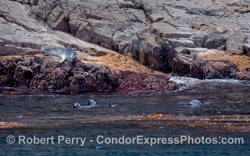 Three Pacific Harbor Seals (Phoca vitulina) in the water, and one on the rocky ledge.