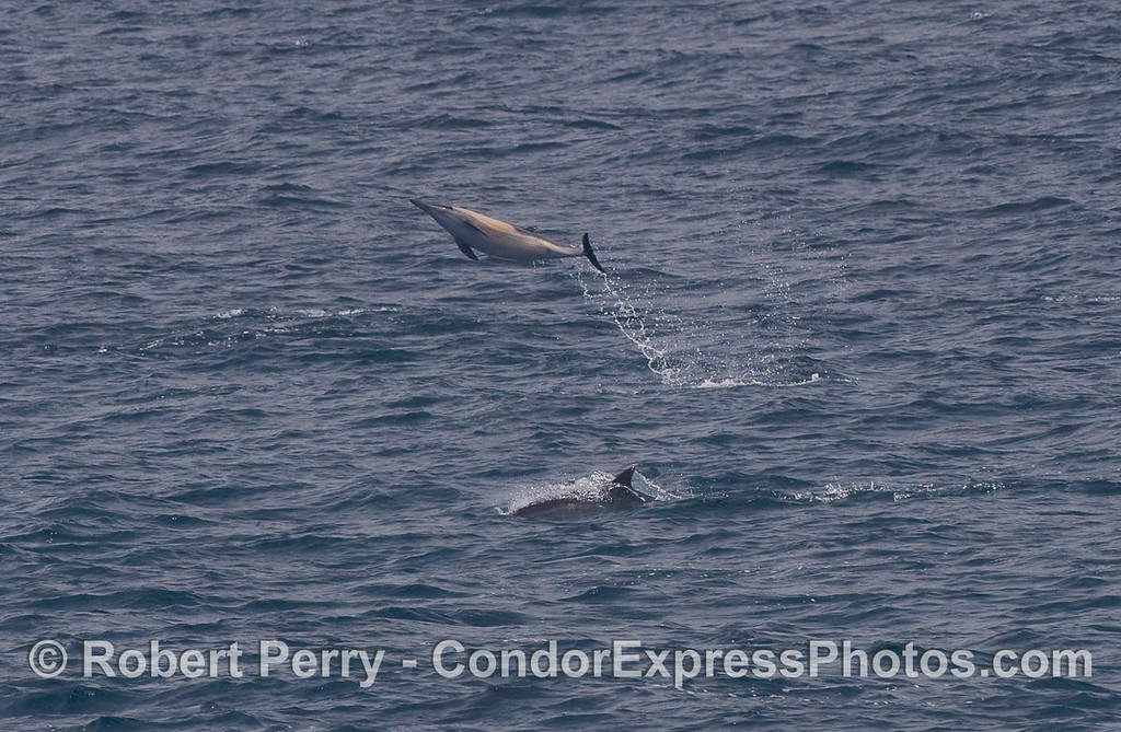 A Common Dolphin takes a giant leap.