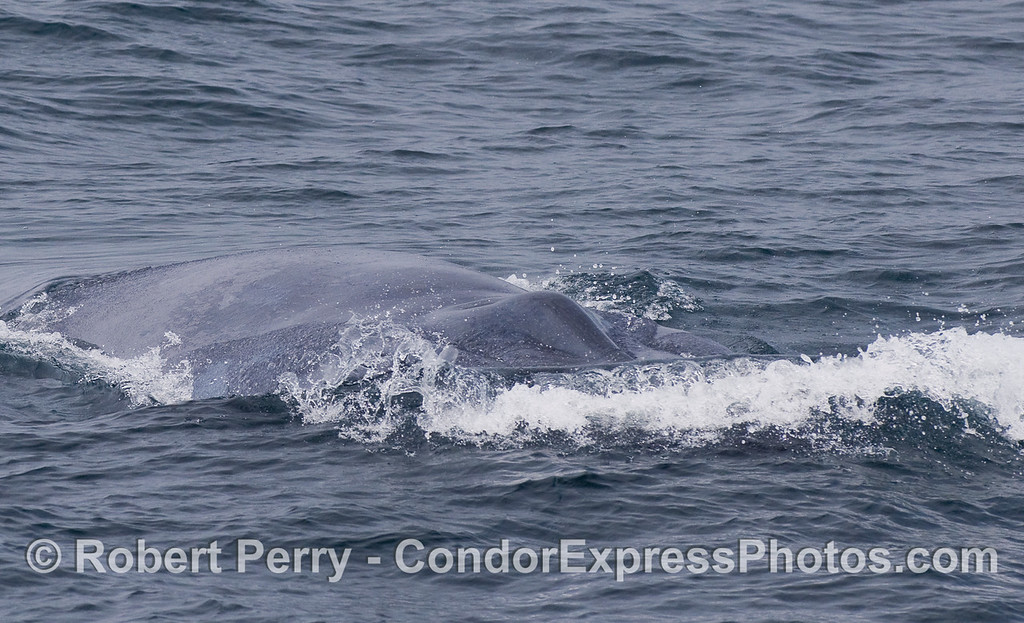 This is what it looks like to have a giant Blue Whale coming right at you.