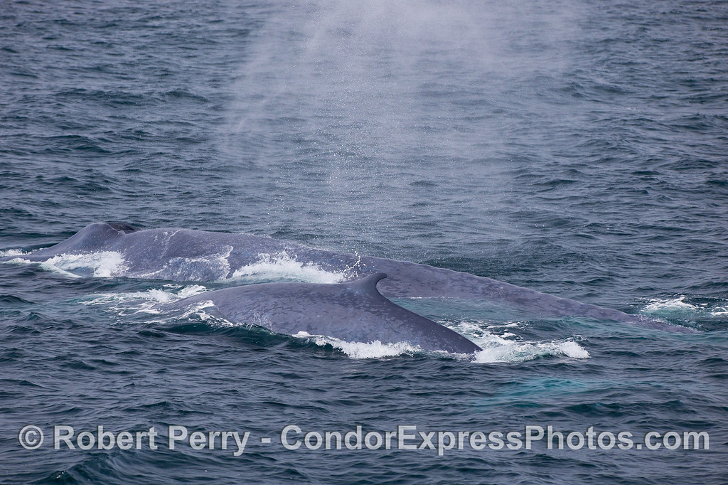 The enormous mother Blue Whale (in back) and her much smaller calf (front) swim side by side.