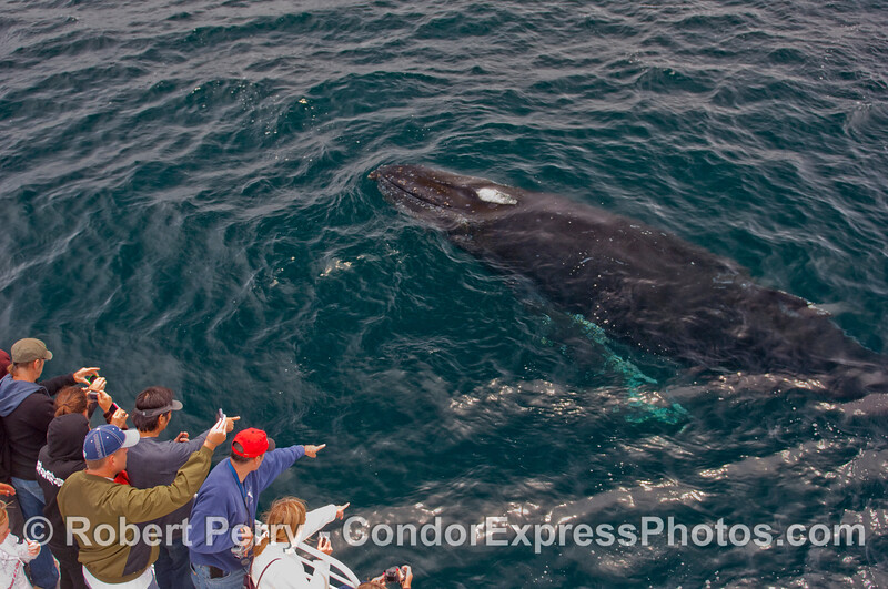 Just the very start of a spout forms as this huge Humpback Whale approaches the Condor Express.