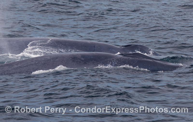 Mother Blue Whale (in back) and her calf (front) swim side by side and show their heads, blowholes and the splashguards around their blowholes.