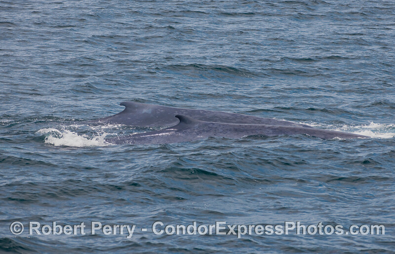 Mother Blue Whale (in back) and her calf (front) swim side by side and show their matching dorsal fins.