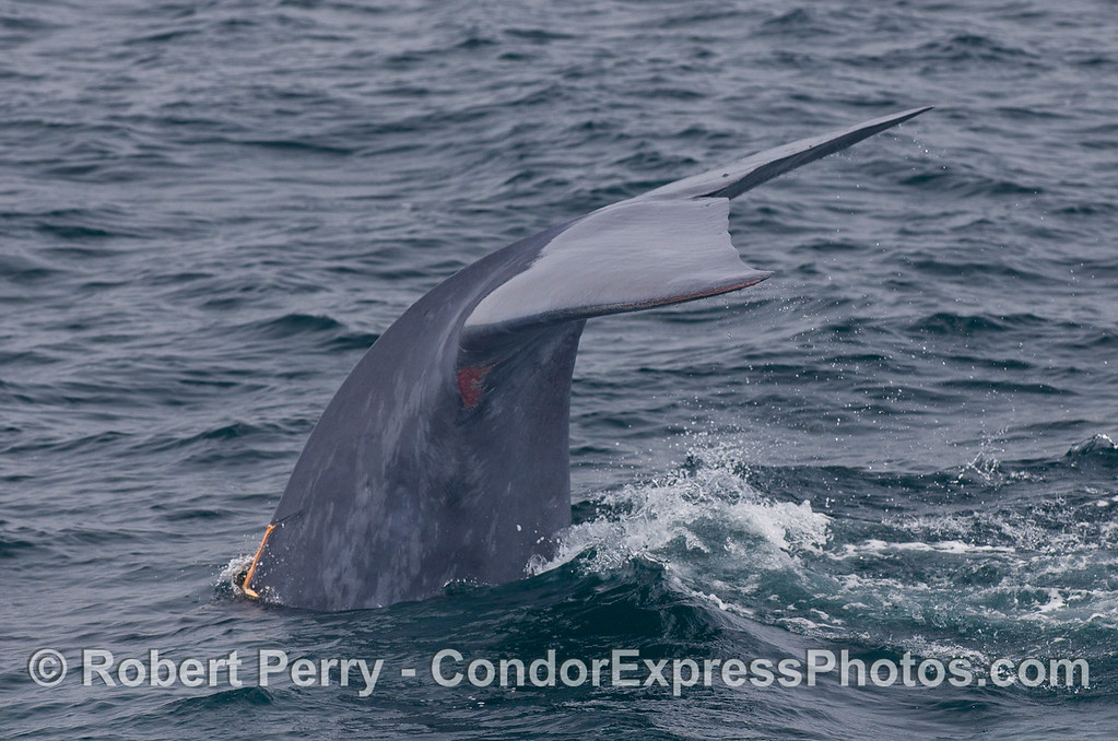 Image 4 of 4:  a Blue Whale shows its tail flukes as it starts a deep dive.