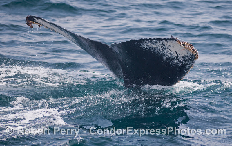 Image 2 of 2:  A Humpback Whale starts a deep dive.